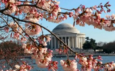 Exploring the DC Cherry Blossoms
