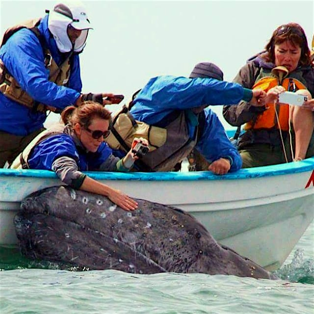 grey whale coming to our boat to be petted