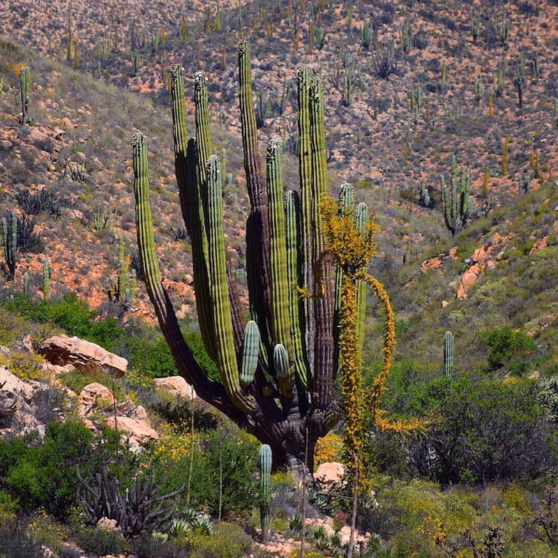 Exotic plants of the Baja Desert