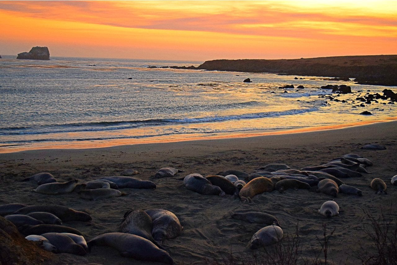 elephant-seals-at-sunset