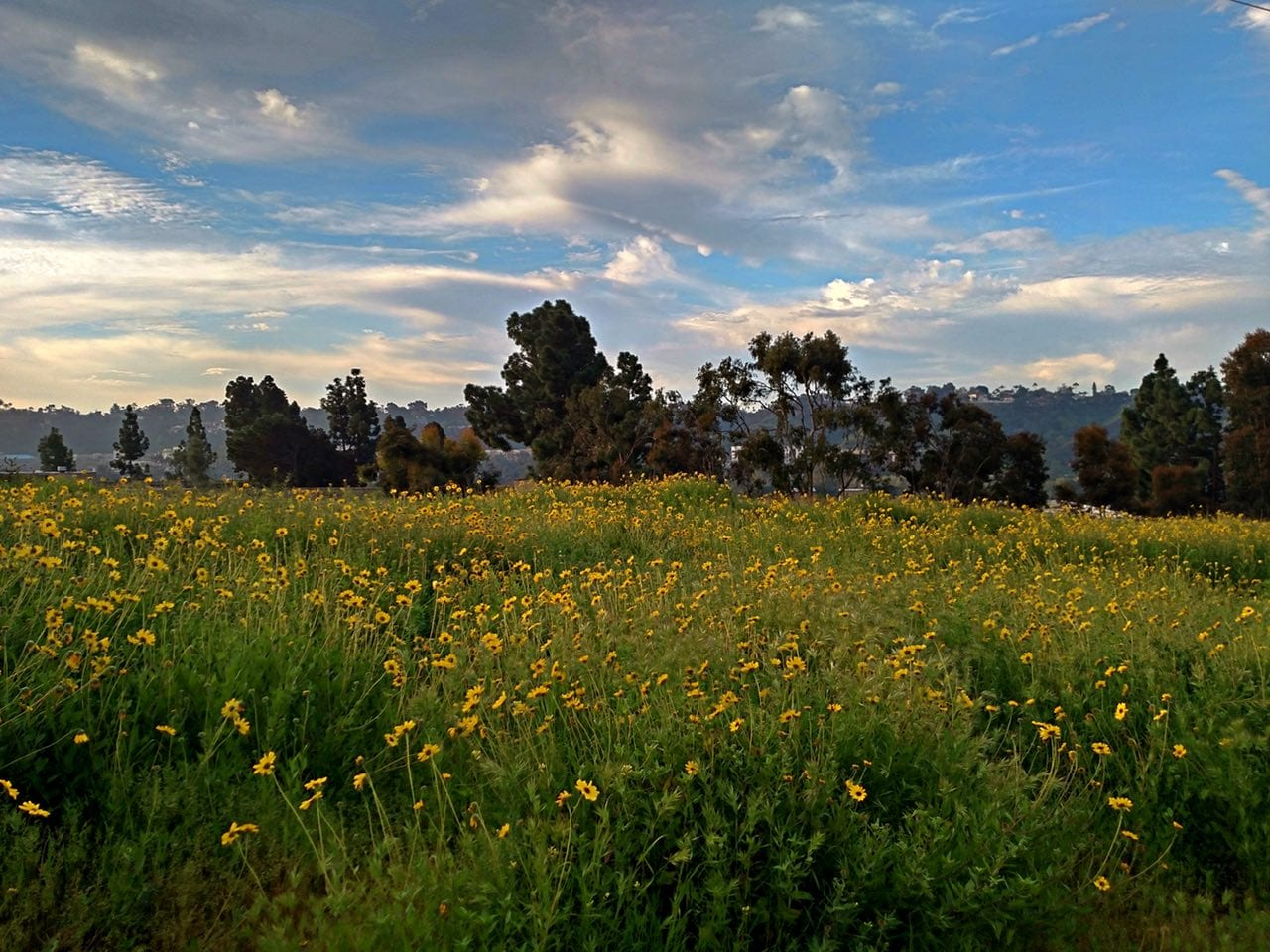 Wildflowers in San Diego River Valley