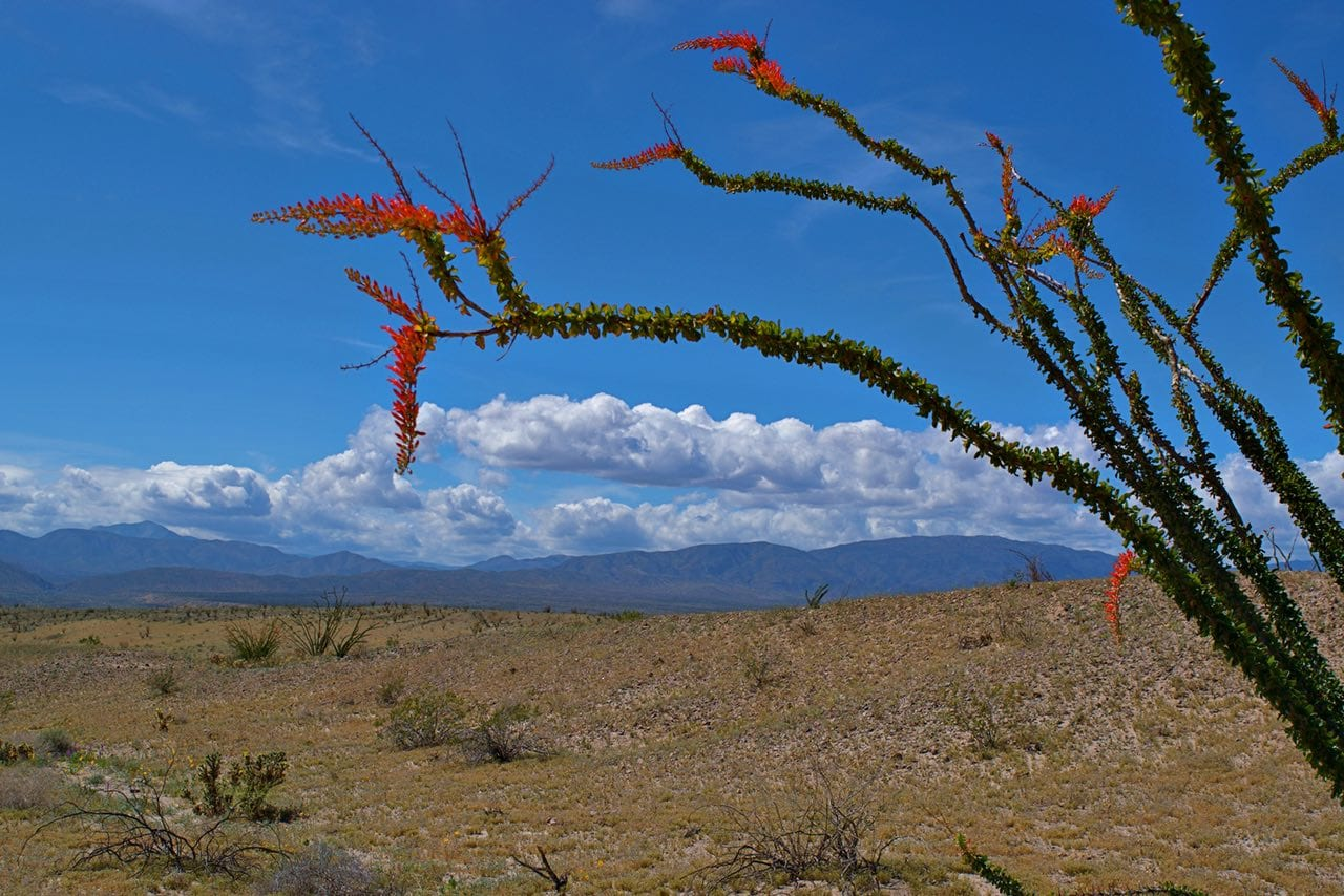 Ocotillo in the Borrego Desert