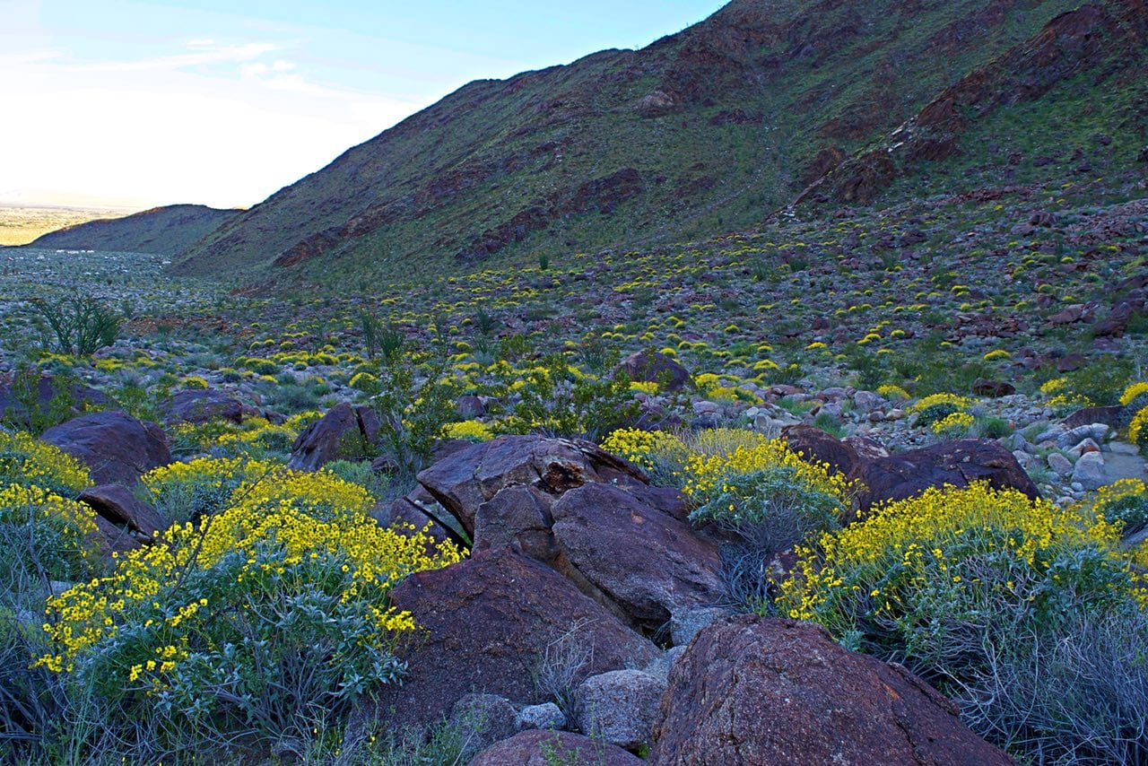 carpet of wildflowers in Palm Canyon