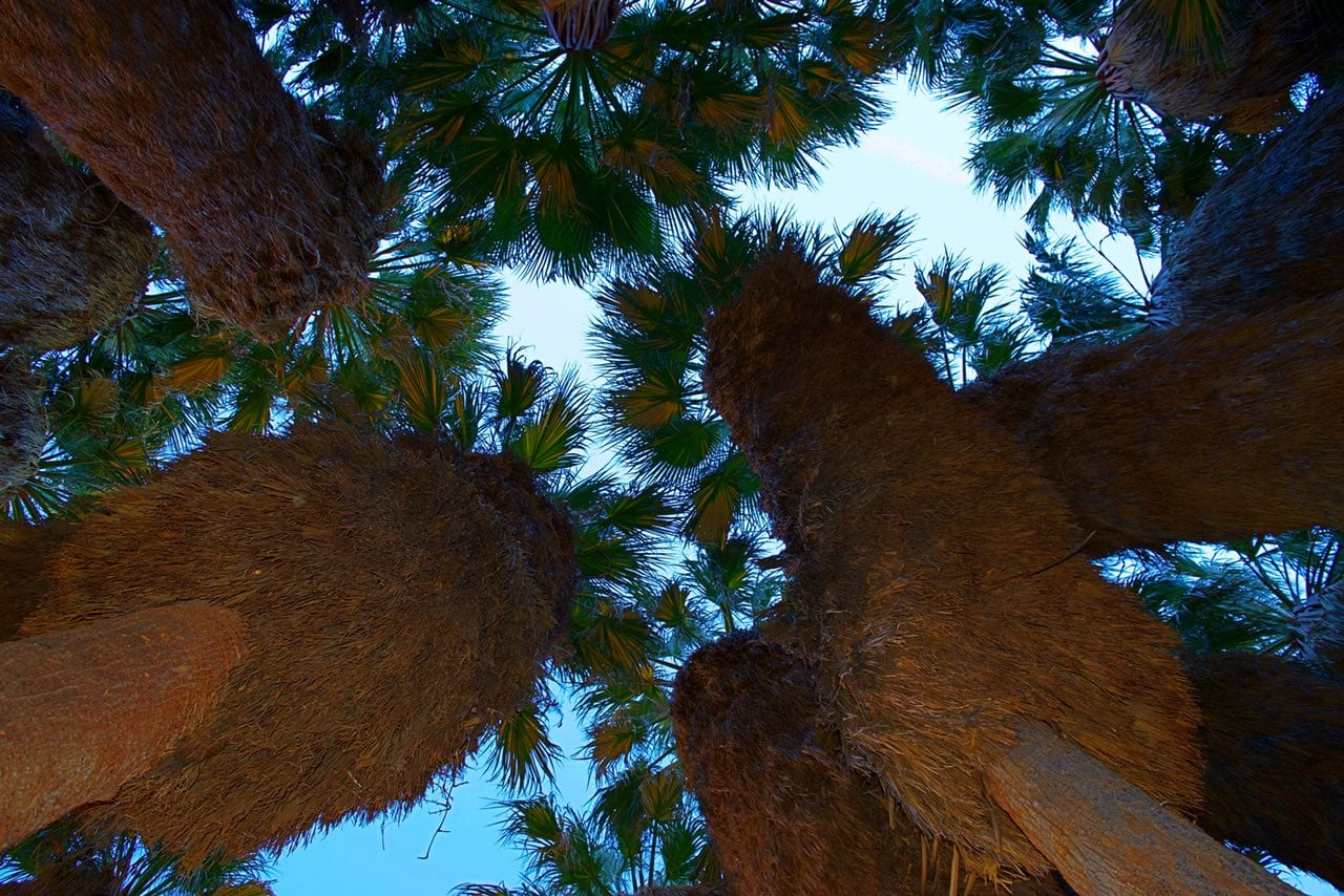 Looking up in Palm Canyon Oasis