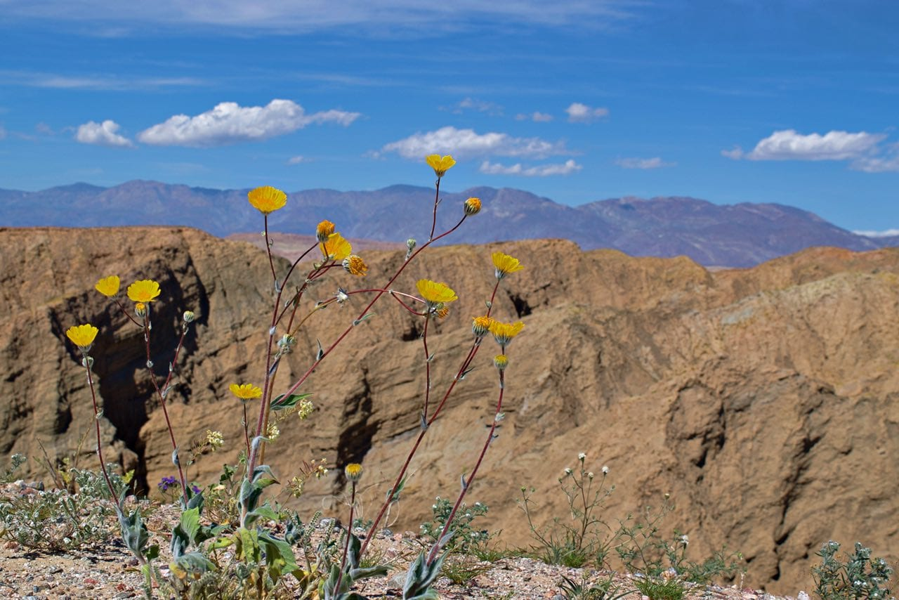 Wildflower over desert canyons