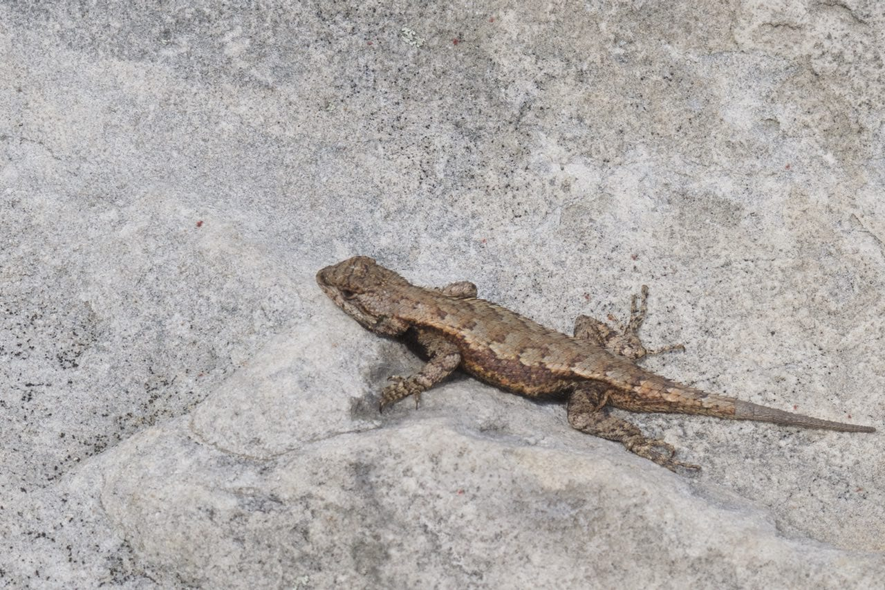 Lizards were the most common wildlife we saw at Cloudland Canyon