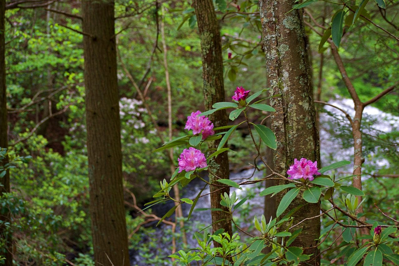 Bokeh photography of rhododendrons in the foreground with Sitton Creek in the background