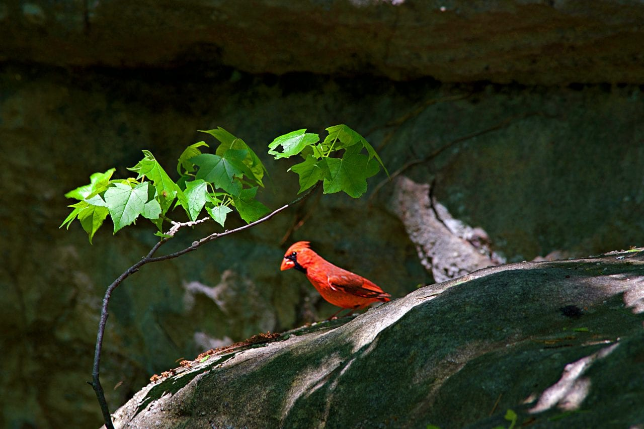 Red bird at Rock City