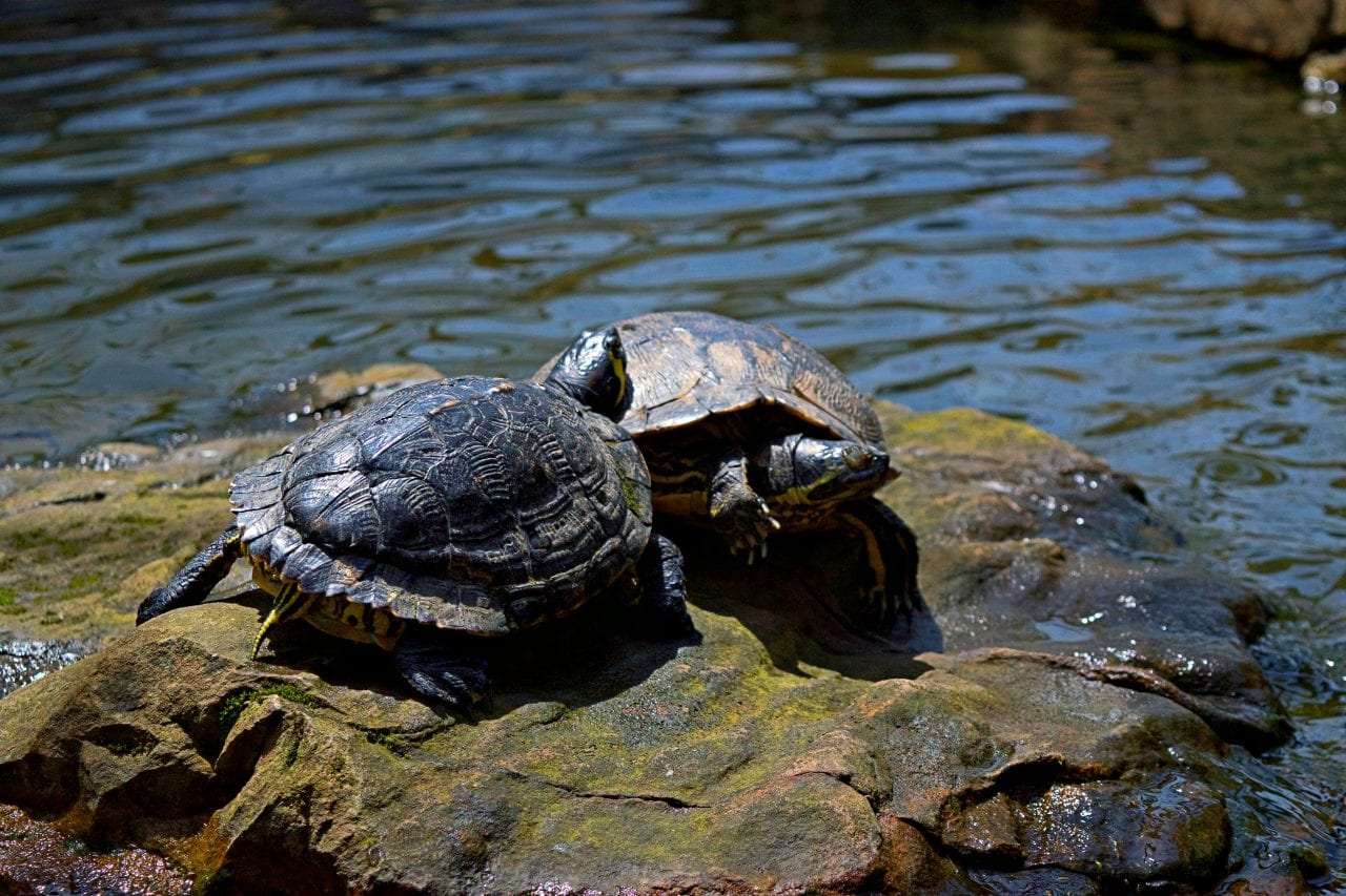 Turtle snuggles at Huntsville Botanical Garden