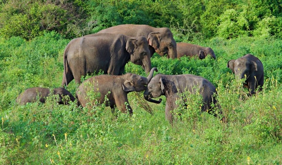 Baby elephants wrestling at Kaudulla National Park