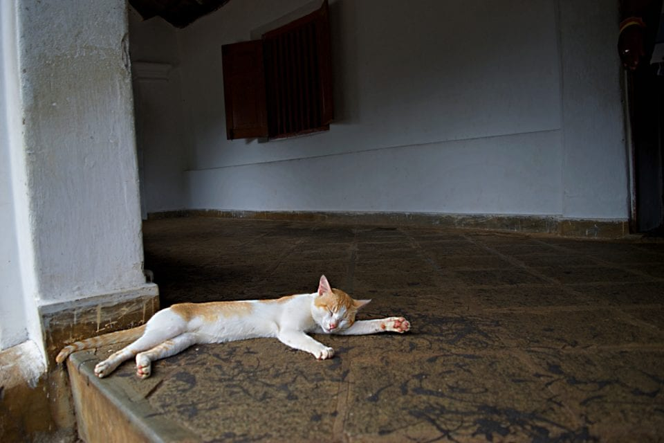 Reclining cat outside Dambulla Cave Temple
