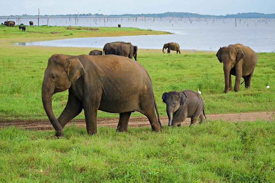 Elephant families Kaudulla National Park