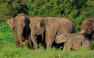 Sri Lanka Safari: How Ecotourism is Saving Wild Elephants