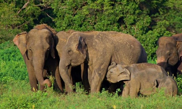 Sri Lanka Safari: How Ecotourism is Saving Wild Elephants
