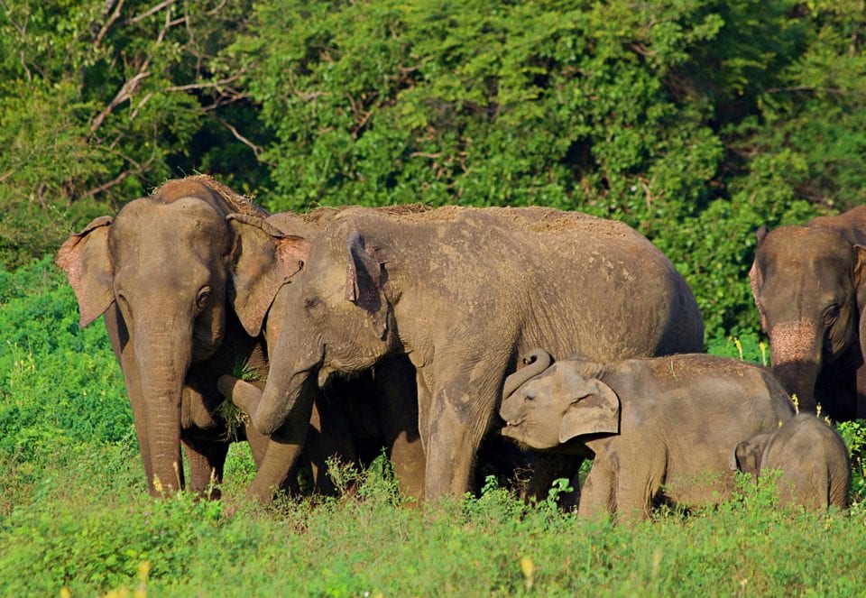 Elephant family sharing food Kaudulla National Park