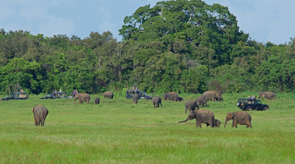Elephant herd Kaudulla National Park