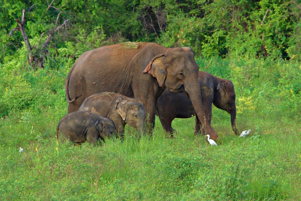 Elephants Family in Kaudulla National Park