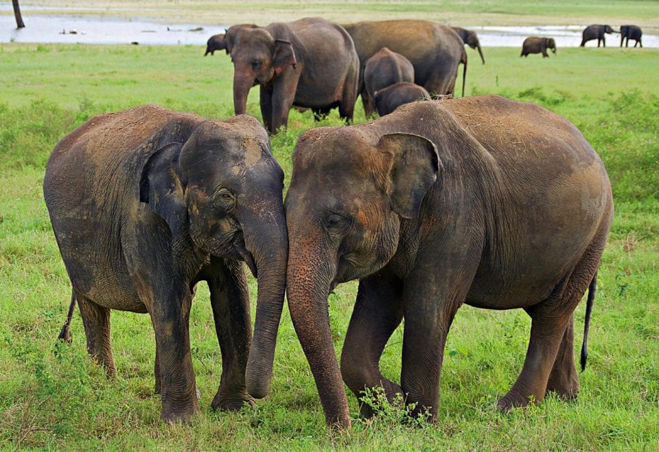Elephants in love Kaudulla National Park