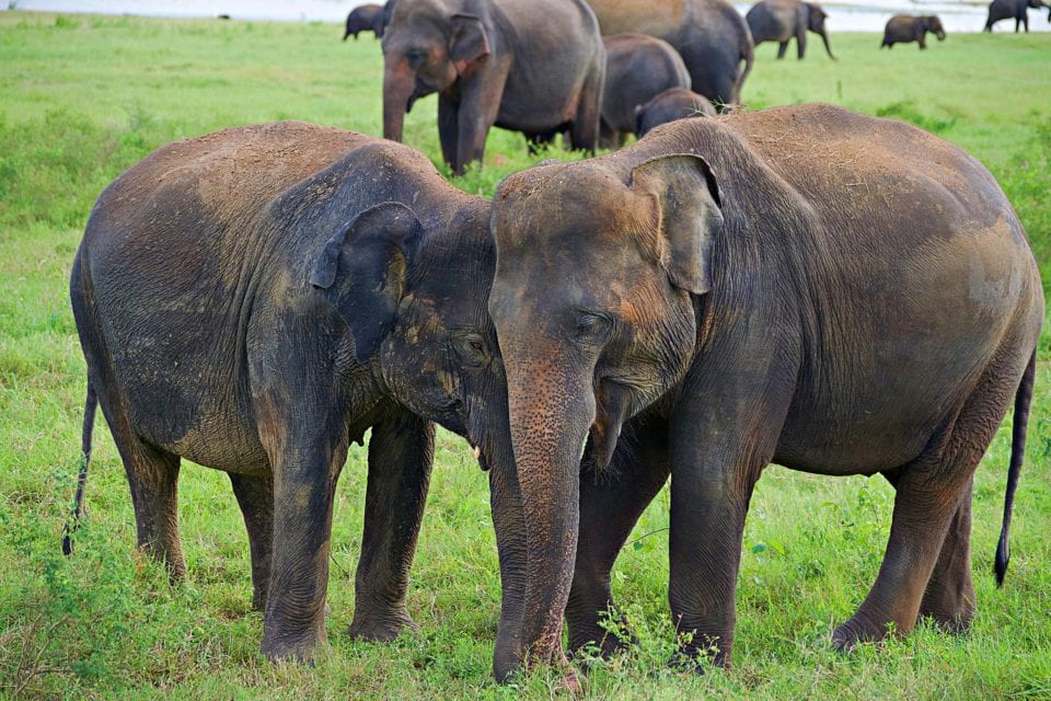 Wild elephants in love in Sri Lanka