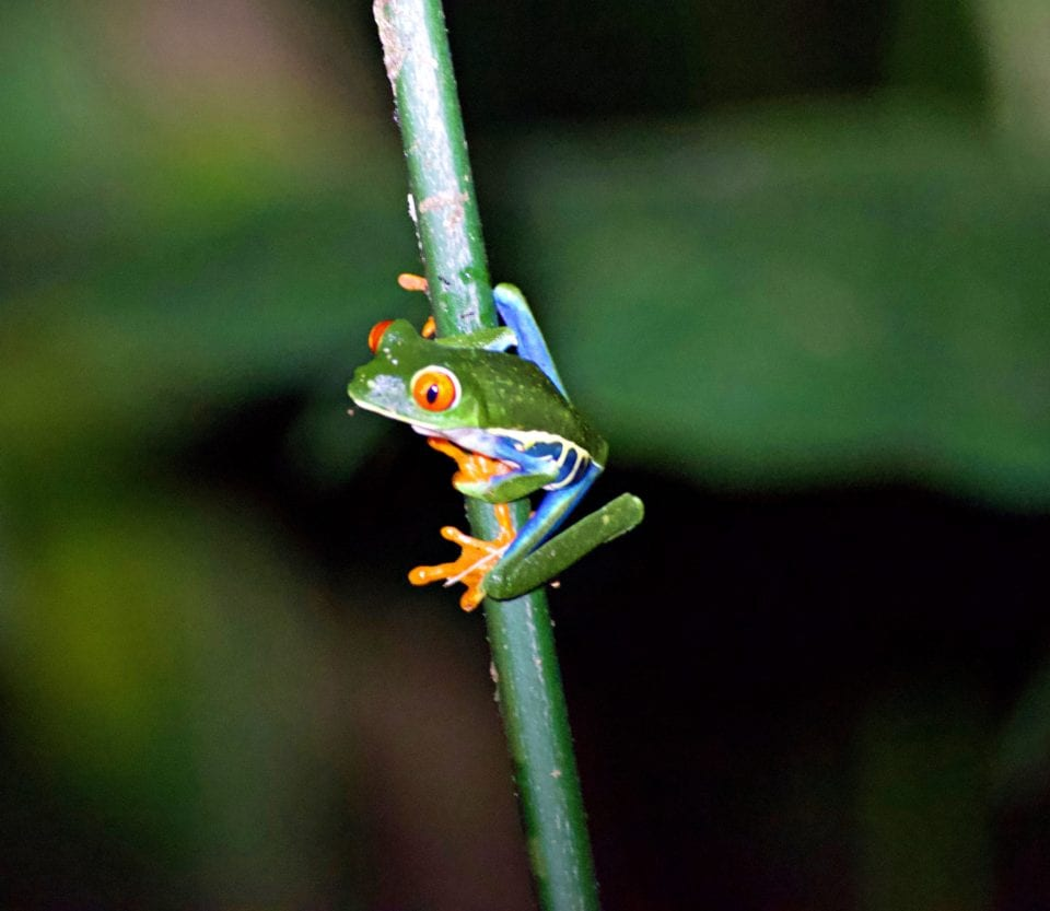 Red Eyed Tree Frog on night jungle hike