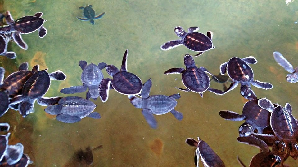 Incredibly cute baby sea turtles at the hatchery in Sri Lanka.