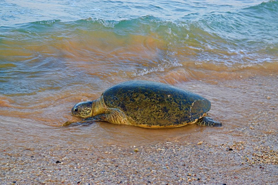 A particularly friendly giant Sea turtle on Hikkaduwa Beach Sri Lanka.