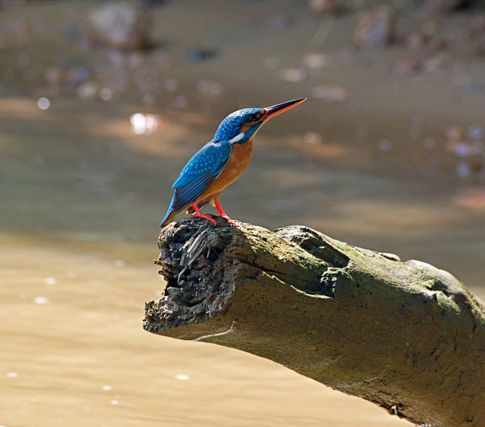 King Fisher on the Hikkaduwa River Tour