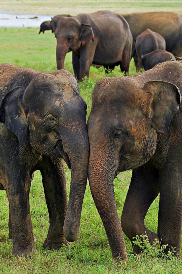 Sri Lanka Safari- How Ecotourism is Saving Wild Elephants