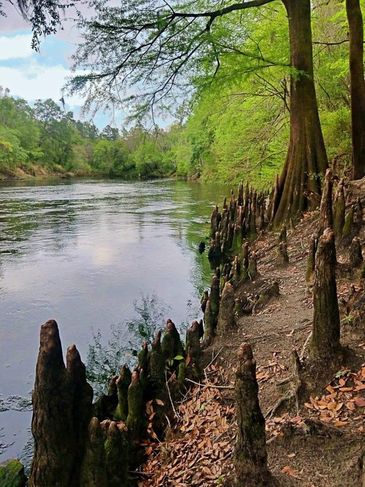 Suwannee River scene
