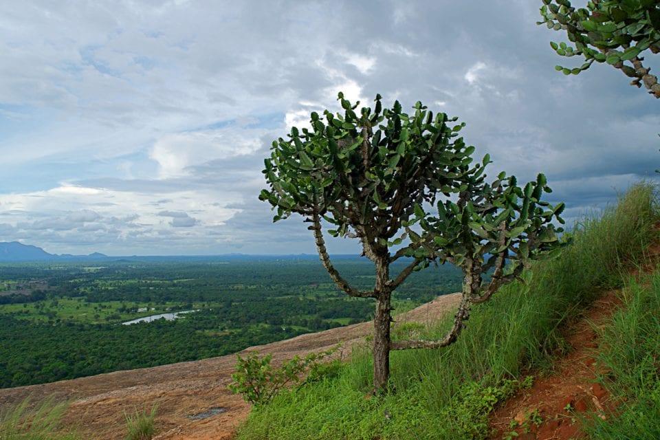 Cactus tree top of Pidurangala Rock