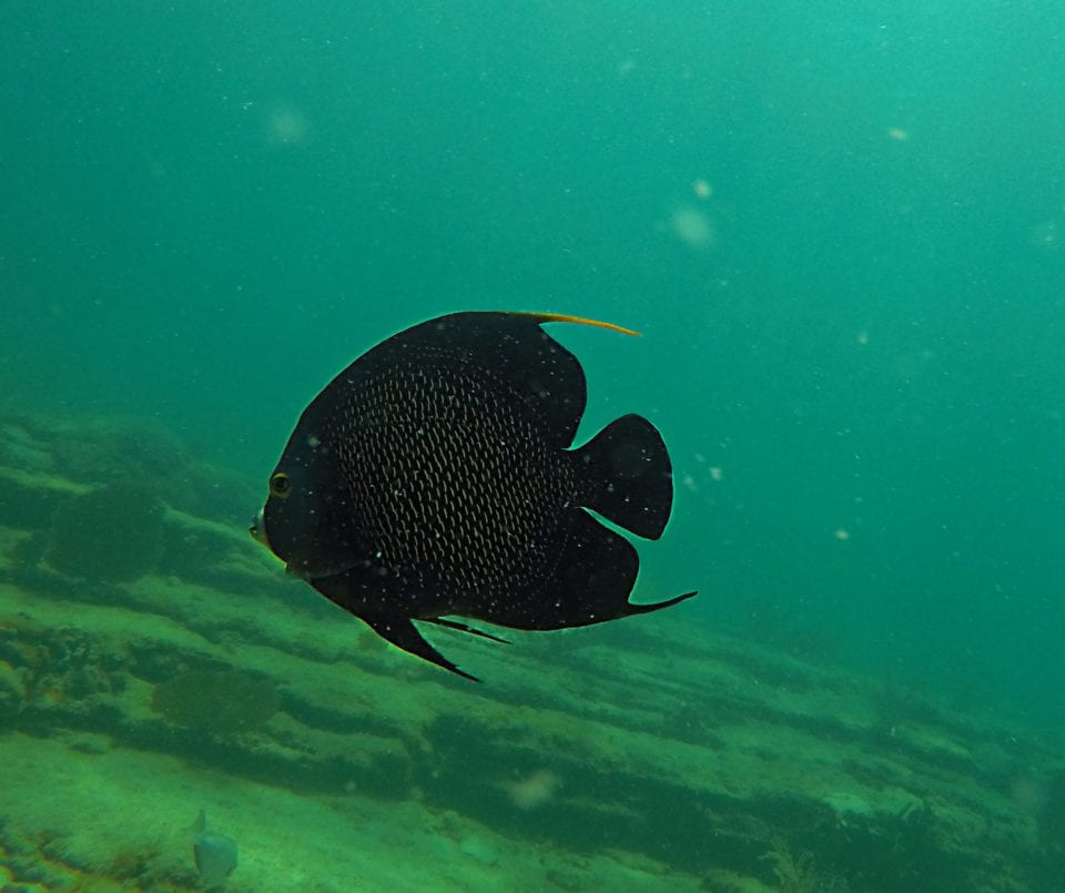 French-angelfish-Snorkeling