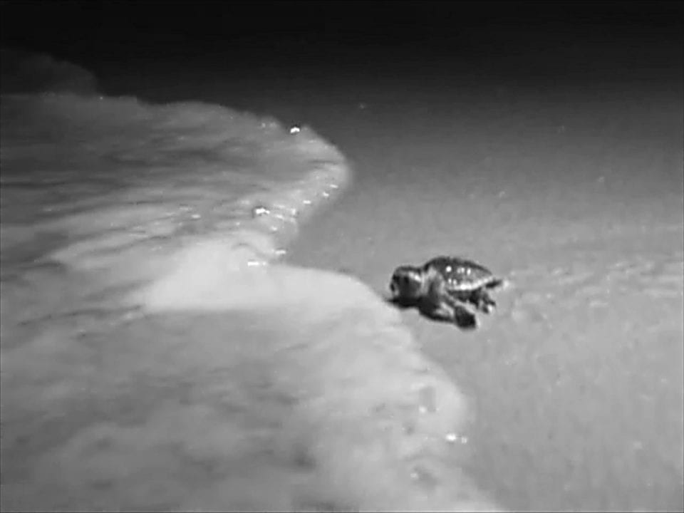 Baby sea turtle heading to the ocean Inferred