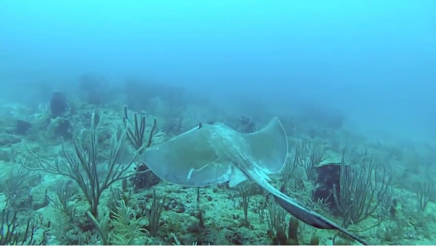 Sting Ray at the Ant Beds (Still from Pompano Dive Center Video)