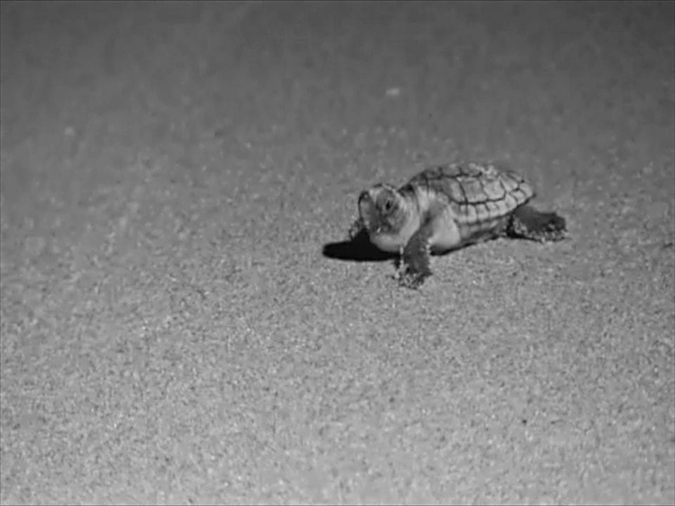 Baby Sea Turtle in an infrared photo (photo provided by STOP)