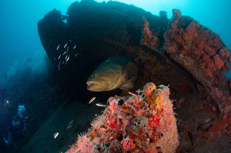 Grouper on the Castor (photo by Andre @oceanprophotography)