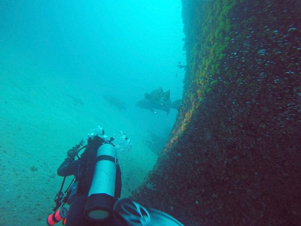 Diver approaching Goliath grouper