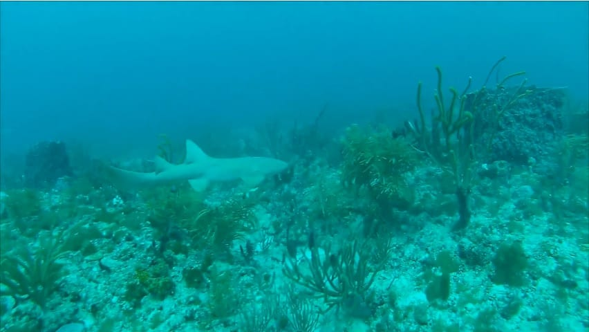 Shark sighting at the Grouper Bend dive site (still from PDC dive video)