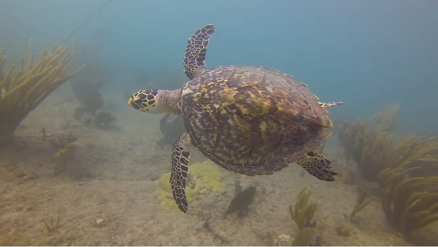 Turtle sighting off the Pompano Drop Off (still from PDC dive video)