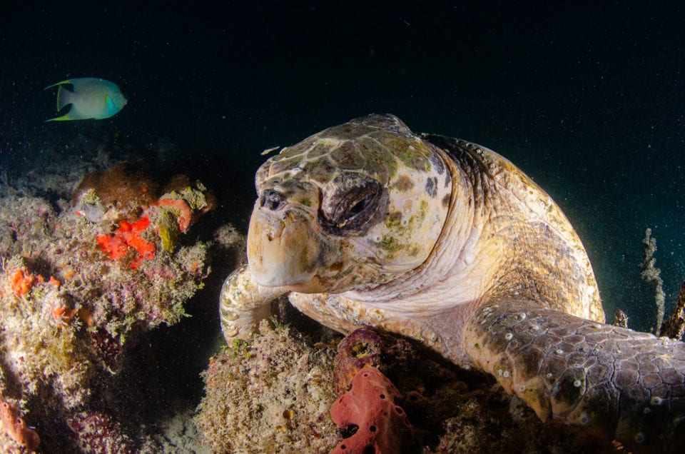Turtle on Fort Lauderdale Reef DIve (credit Andre @oceanpro photography)