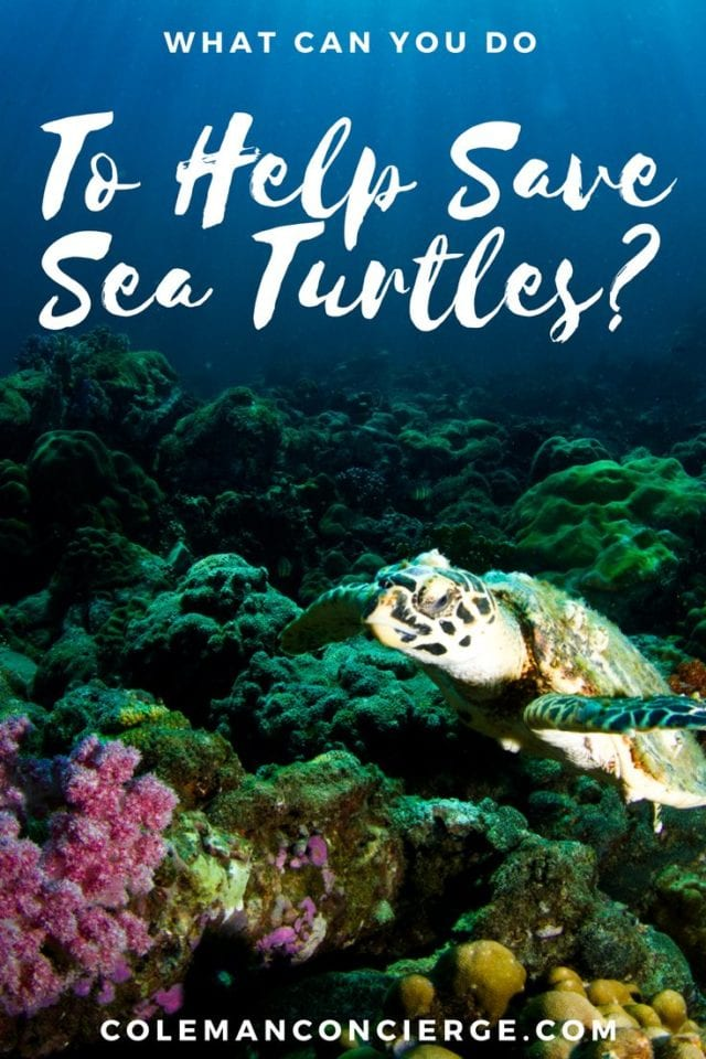 1 in 3 baby sea turtles gets confused upon hatching by the city lights and head into traffic instead of the ocean. Turtle Treks are volunteer-run outings in Fort Lauderdale, Fl that give people a chance to help with sea turtle rescue. Click to find out more about what you can do to help save sea turtles. #SeaTurtles #Conservation #Fort Lauderdale #Ethical #ResponsibleTourism #SustainableTourism #Florida