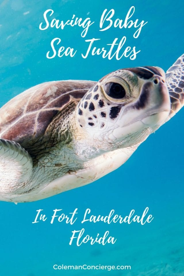 What can you do to help save baby sea turtles? Light pollution has a devastating effect on sea turtle populations. Learn about what a dedicated volunteer organization in Fort Lauderdale, Florida are doing to address this problem and to educate the public on what they can do to help. #SeaTurtles #Conservation #Fort Lauderdale #Ethical #ResponsibleTourism #SustainableTourism #Florida