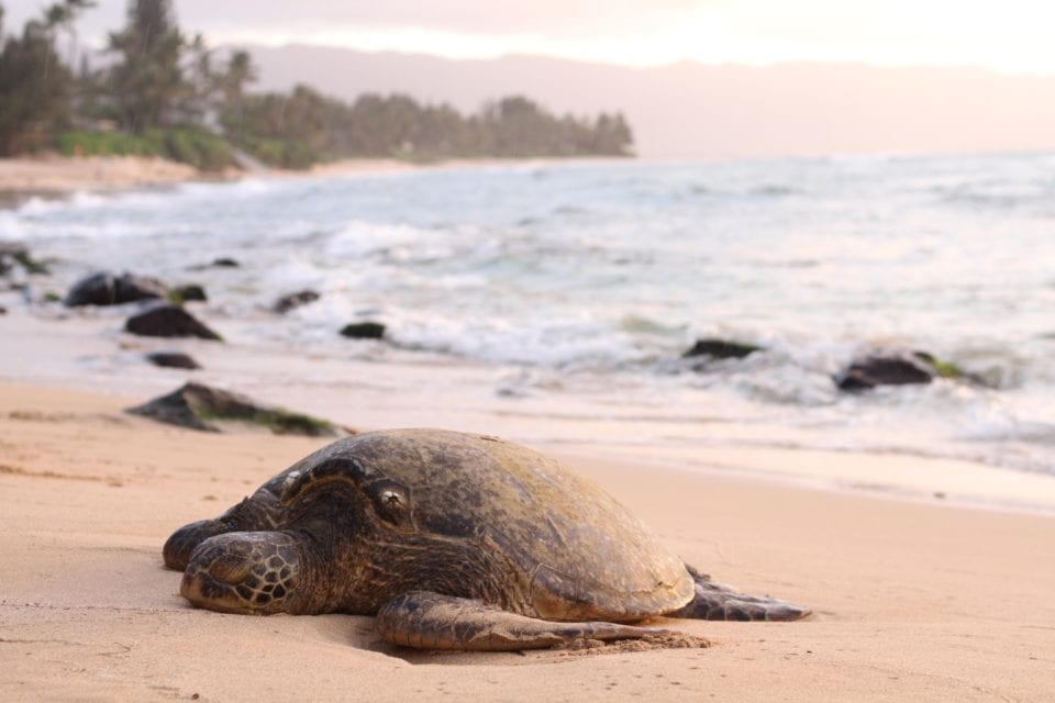 Sea turtle on the beach (photo by Jeremy Bishop)