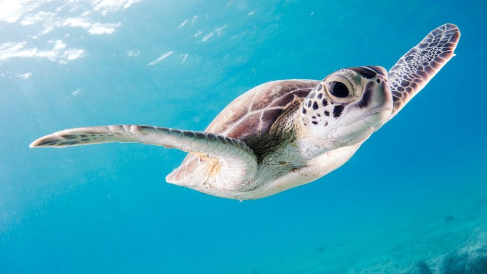 Saving Baby Sea Turtles in Fort Lauderdale With Sea Turtle Oversight Protection