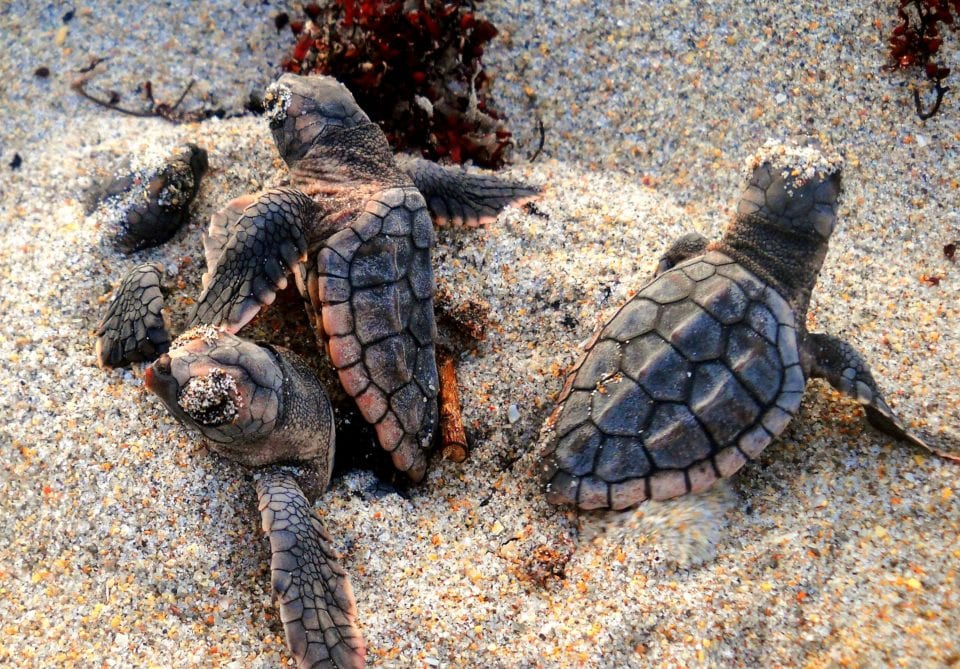 loggerhead turtles hatching from a nest