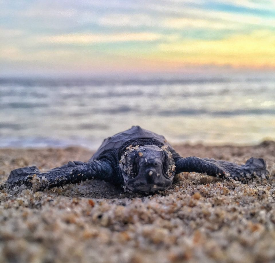 Baby sea turtle in sand at sunset (photo by Mitch Lensink)