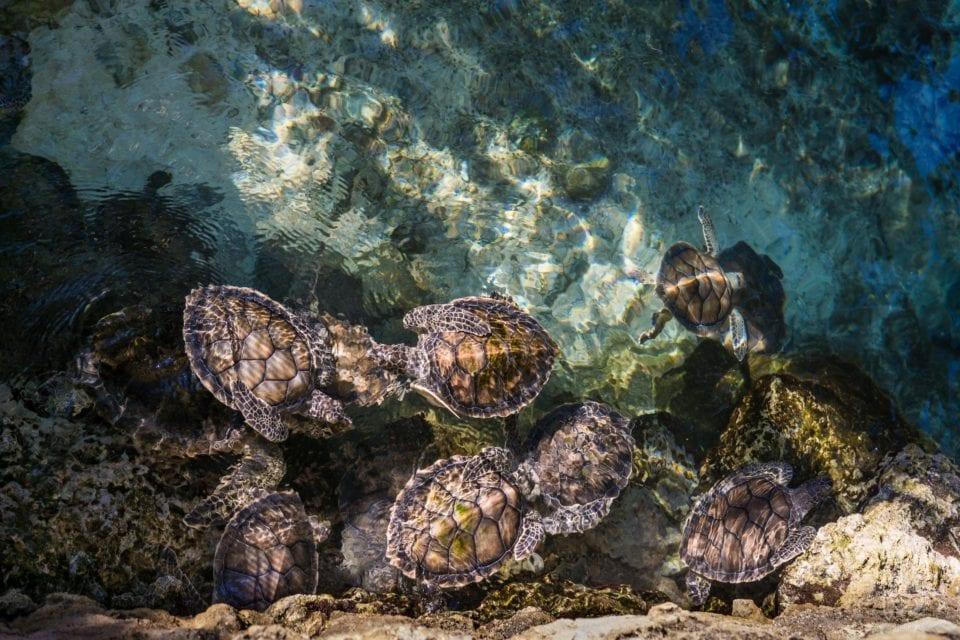 Baby sea turtles swimming in the ocean (photo by Ricardo Braham)
