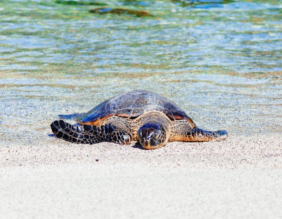 Turtle coming out of the ocean (photo by Sebastien Gabriel)