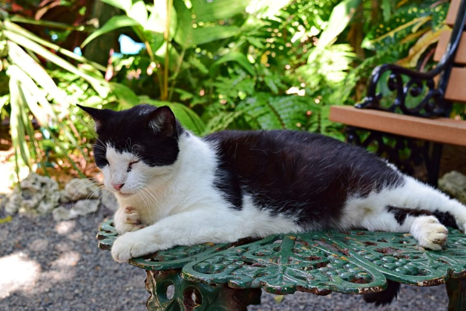 Hemingway House-Black and white cat*