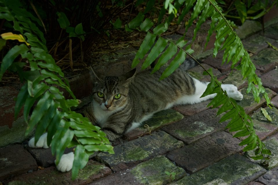 Hemingway House- Cat in shade