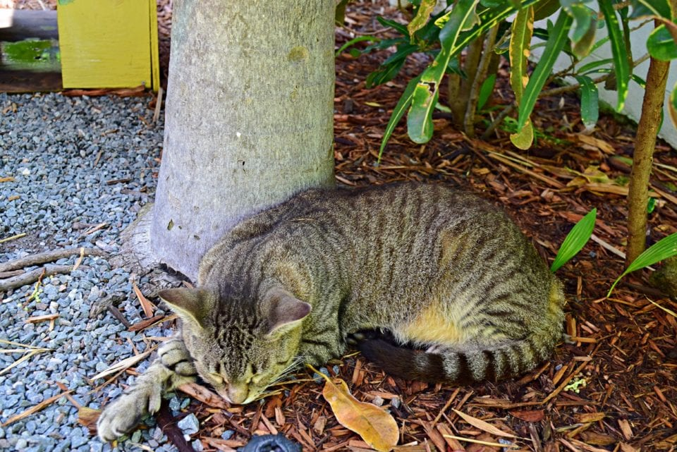 Hemingway House- Cat sleeping in garden